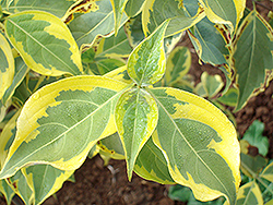 Golden Chalice Chinese Dogwood (Cornus kousa 'Galzam') at Alsip Home and Nursery