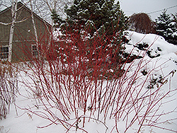 Golden Strawberry Dogwood (Cornus alba 'Golden Strawberry') at Alsip Home and Nursery