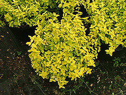 Noonday Sun Wintercreeper (Euonymus fortunei 'Nosuzam') at Alsip Home and Nursery