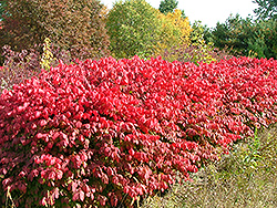 Pipsqueak Winged Burning Bush (Euonymus alatus 'Pipzam') at Alsip Home and Nursery