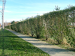 Titan Autumn Olive (Elaeagnus umbellata 'Tizam') at Alsip Home and Nursery