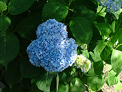 Big 'n' Blue Hydrangea (Hydrangea macrophylla 'Big 'n' Blue') at Alsip Home and Nursery