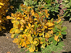 Burnt Mahogany Witchhazel (Hamamelis x intermedia 'Burnt Mahogany') at Alsip Home and Nursery
