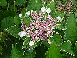 Guiding Light Hydrangea (Hydrangea macrophylla 'Guilizam') at Alsip Home and Nursery