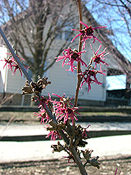 Purple Passion Witchhazel (Hamamelis x intermedia 'Purple Passion') at Alsip Home and Nursery
