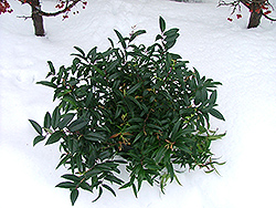 Squirt Fetterbush (Leucothoe axillaris 'Squazam') at Alsip Home and Nursery