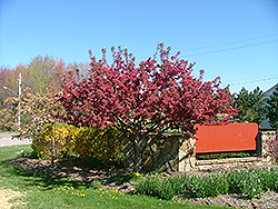 American Triumph Flowering Crab (Malus 'Amertrizam') at Alsip Home and Nursery