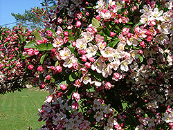 Guinevere Flowering Crab (Malus 'Guinzam') at Alsip Home and Nursery