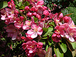 Hamlet Flowering Crab (Malus 'Hamzam') at Alsip Home and Nursery