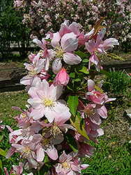 Sir Galahad II Flowering Crab (Malus 'Sirgazam') at Alsip Home and Nursery