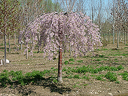 Pink Snow Showers Weeping Cherry (Prunus 'Pisnshzam') at Alsip Home and Nursery