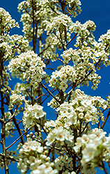 Valiant Ornamental Pear (Pyrus calleryana 'Valzam') at Alsip Home and Nursery
