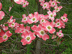 Firebird Flowering Dogwood (Cornus florida 'Fircomz') at Alsip Home and Nursery