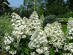 Passionate Hydrangea (Hydrangea paniculata 'Paszam') at Alsip Home and Nursery