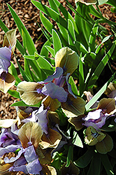 Indigo Crown Iris (Iris 'Indigo Crown') at Alsip Home and Nursery
