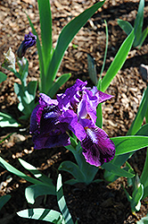 Joette Iris (Iris 'Joette') at Alsip Home and Nursery