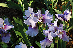 Fantastic Blue Iris (Iris 'Fantastic Blue') at Alsip Home and Nursery