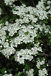 Russian Hawthorn (Crataegus ambigua) at Alsip Home and Nursery