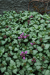 Red Nancy Spotted Dead Nettle (Lamium maculatum 'Red Nancy') at Alsip Home and Nursery