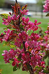 Almey Flowering Crab (Malus 'Almey') at Alsip Home and Nursery