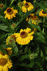 Wyndley Sneezeweed (Helenium 'Wyndley') at Alsip Home and Nursery