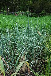 Findhorn Lyme Grass (Leymus arenarius 'Findhorn') at Alsip Home and Nursery