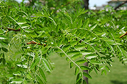 Prairie Silk Honeylocust (Gleditsia triacanthos 'Prairie Silk') at Alsip Home and Nursery
