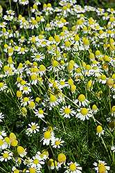 Chamomile (Matricaria recutita) at Alsip Home and Nursery