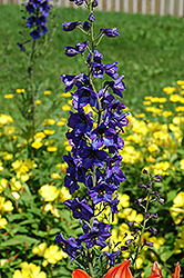 Black Knight Larkspur (Delphinium 'Black Knight') at Alsip Home and Nursery