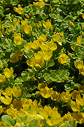 Creeping Jenny (Lysimachia nummularia) at Alsip Home and Nursery
