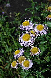 Blue Beauty Fleabane (Erigeron 'Blue Beauty') at Alsip Home and Nursery