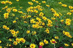 Hohlspiegel False Sunflower (Heliopsis helianthoides 'Hohlspiegel') at Alsip Home and Nursery