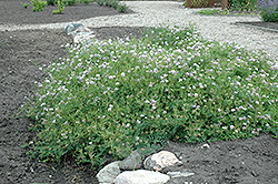 Crown Vetch (Coronilla varia) at Alsip Home and Nursery