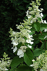 Tardiva Hydrangea (Hydrangea paniculata 'Tardiva') at Alsip Home and Nursery