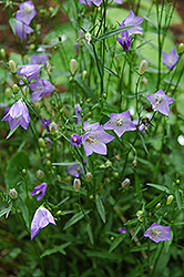 Olympica Bluebells (Campanula rotundifolia 'Olympica') at Alsip Home and Nursery