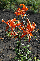 Tiger Lily (Lilium lancifolium) at Alsip Home and Nursery