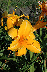 Olympic Gold Daylily (Hemerocallis 'Olympic Gold') at Alsip Home and Nursery