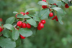 European Cotoneaster (Cotoneaster integerrimus) at Alsip Home and Nursery