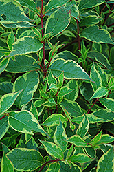 Golden Variegated Dogwood (Cornus alba 'Gouchaultii') at Alsip Home and Nursery