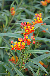 Red Butterfly Milkweed (Asclepias curassavica 'Red Butterfly') at Alsip Home and Nursery