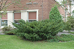 Japanese Yew (Taxus cuspidata) at Alsip Home and Nursery