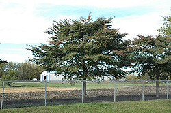 Freedom Elm (Ulmus davidiana 'Freedom') at Alsip Home and Nursery