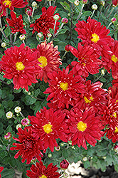 Firestorm Chrysanthemum (Chrysanthemum 'Firestorm') at Alsip Home and Nursery