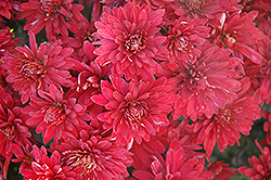Minngopher Chrysanthemum (Chrysanthemum 'Minngopher') at Alsip Home and Nursery