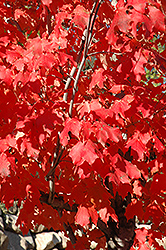 Fall Red Sugar Maple (Acer saccharum 'Fall Red') at Alsip Home and Nursery