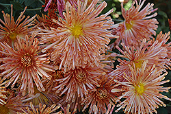 Peach Centerpiece Chrysanthemum (Chrysanthemum 'Peach Centerpiece') at Alsip Home and Nursery