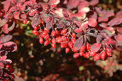Golden Carousel Japanese Barberry (Berberis 'Bailsel') at Alsip Home and Nursery