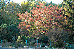 Robin Hill Serviceberry (Amelanchier x grandiflora 'Robin Hill') at Alsip Home and Nursery