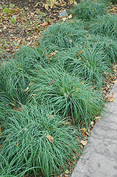 Blue Sedge (Carex glauca) at Alsip Home and Nursery