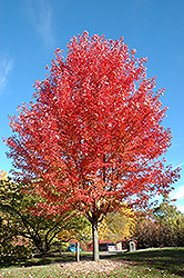 Autumn Blaze Maple (Acer x freemanii 'Jeffersred') at Alsip Home and Nursery